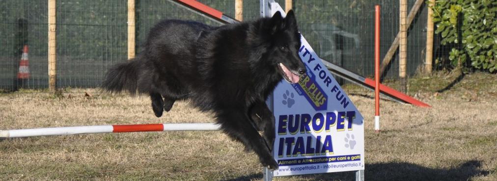corso agility dog